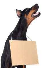 Doberman dog with clear cardboard