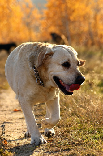 hunting dog coming from the woods