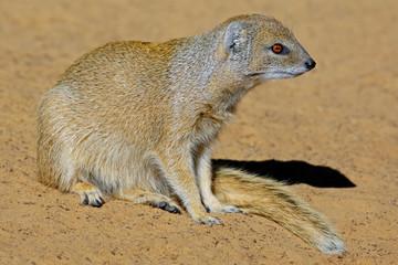 Yellow mongoose (Cynictus penicillata), Kalahari desert