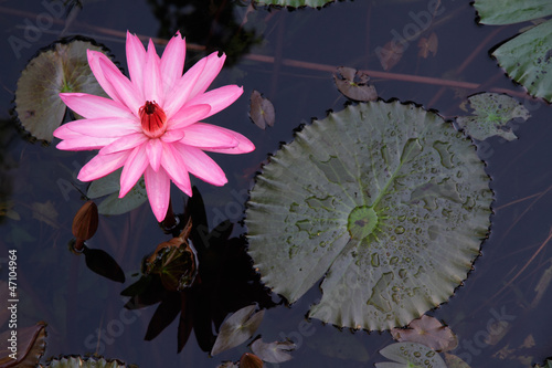 Water lily flower (Nymphaea spp.)