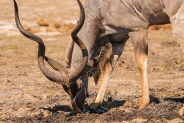 Kudu bull drinking