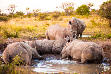 Group of rhinos in the mud