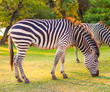Plains zebra (Equus quagga) grazing