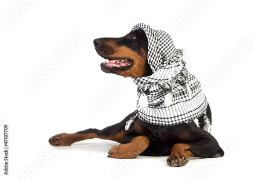 Dobermann dog in black kufiya