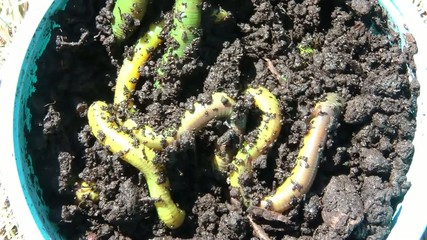 Worms in Sun Close-up