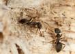 Brown tree ant, Lasius brunneus (Hymenoptera, Formicidae)