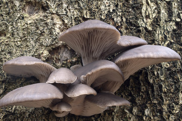 Oyster mushrooms quite new