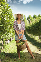 vintner picking grapes in a vineyard
