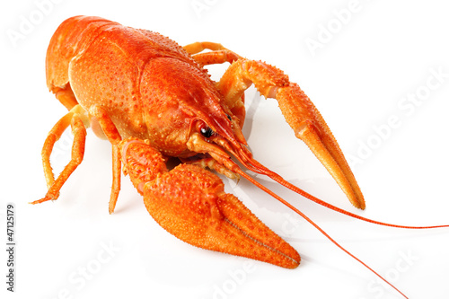 Large red lobster isolated on white
