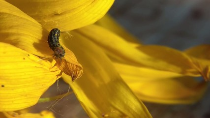 Caterpillar on Yellow Flower Closeup