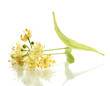 Branch of linden flowers isolated on white