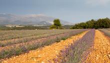 Blooming campo de lavanda, Valensole, Provence, França