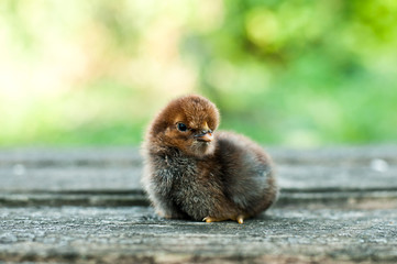 Little newborn chicken on nature