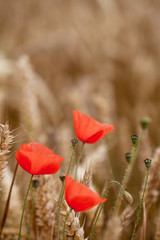Red Poppy, Corn Poppy (Papaver Rhoeas) - Remembrance Day