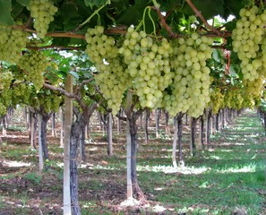 White grapes in a vineyard in Apulia in Italy