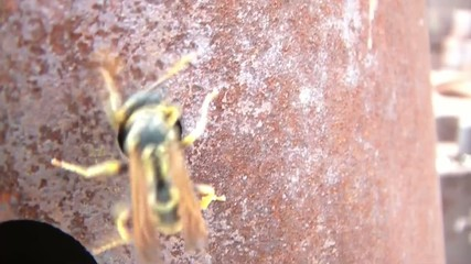 Wasp on Rusty Metal