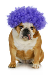 funny clown dog