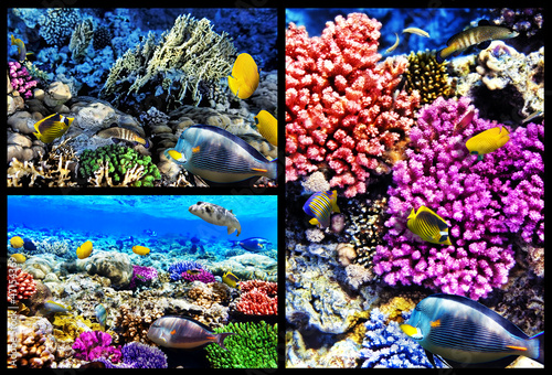 Coral and fish in the Red Sea. Egypt. Collage.
