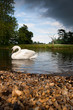 Mute swan (Cygnus olor) gliding on a lake with stormclouds