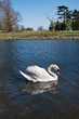 Mute swan (Cygnus olor) gliding across a lake