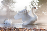 Fototapety Mute swan stretching on a mist covered lake at dawn