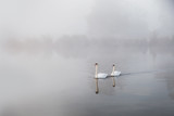 Mute swans Cygnus olor gliding over a mist covered lake at dawn