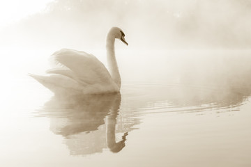 fototapeta łabędź na jeziorze pokrytym mgłą o świcie