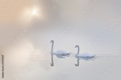 Mute swans Cygnus olor gliding across a mist covered lake