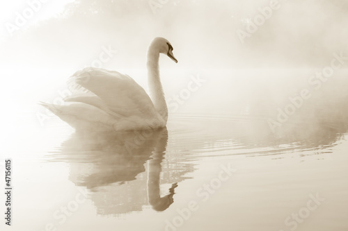 Tuinposter Zwaan Mute swan Cygnus olor gliding across a mist covered lake at dawn