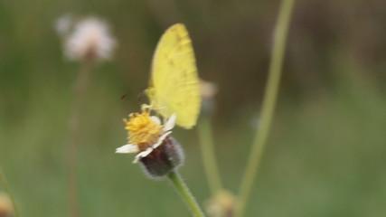 Close up of small grass yellow (Eurema brigitta) butterfly