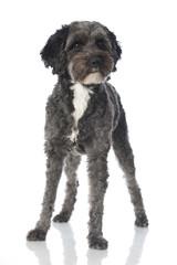 Mixed breed dog - Mischlingshund