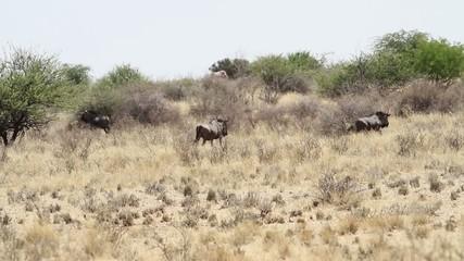 herd gnus