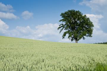麦畑に立つ大きな木