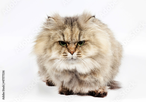 Furry persian cat golden chinchilla