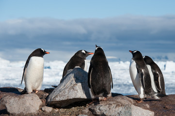 Antarctic penguins in wild nature