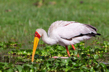 Yellow-billed Stork at Lake Naivasha, Kenya