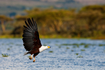 African fish eagle, Naivasha Lake National Park, Kenya