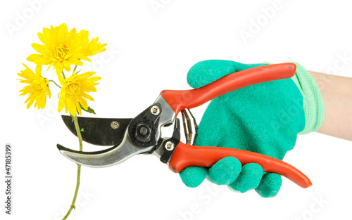 cutting flower with pruning shears   isolated on white
