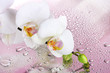 white beautiful orchid with drops on pink background