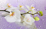 Fototapety white beautiful orchid with drops on purple background