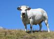 Splendida mucca piemontese bianca, pascolo brado