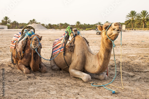Arabian camel or Dromedary also called a one-humped camel in the