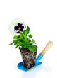 Violet Pansy Root Ball on Blue Spoon