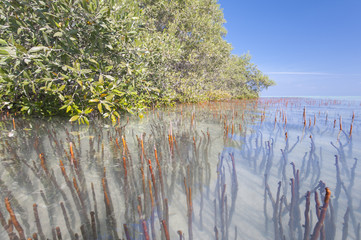 White mangrove trees in a tropical lagoon