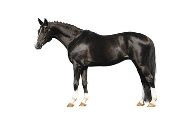 trakehner stallion on white
