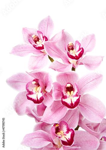 Fototapeten,orchidee,isoliert,blume,hintergrund