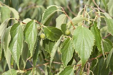 Leaves and fruits of European nettle tree, Celtis australis