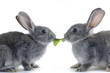 Couple rabbit eating vegetable leaf