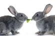 Couple rabbit eating vegetable leaf