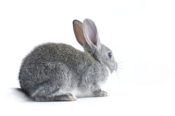 Young cute rabbit